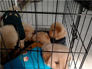 出售金毛幼犬自家繁殖的��N金毛加微信看狗狗�D片微信�手�C�13935814101