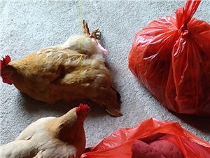 �r家自�B土�u,自家�N殖的蕃薯和蕃薯片,�G色�h保�o污染。有需要的�加微信,whb15970874233