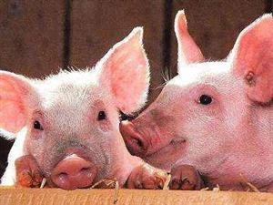 全国非洲猪瘟发生势头减缓,17省区市疫区全部解除封锁记者从农业农村部获悉,当前,全国非洲猪瘟疫情发