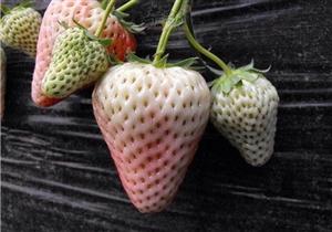 系列养生食补一水果篇(菠萝莓)