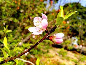 春暖桃李盛开