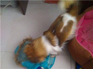 寻宠物狗:在巴彦县东门往南胶水厂后大墙走失宠物狗,有消息必有重谢!