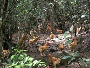 山林下散养土鸡,福建河田鸡种,欢迎老板收购!