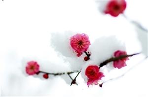 雪压梅花花更艳