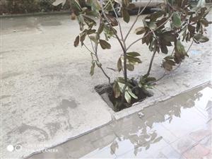 下水道井盖塌了很多天了,桃园物业都看不见吗?