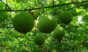 系列养生食补一水果篇(瓜蒌)