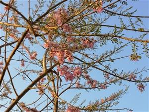 二月玉龙赏樱花