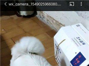 本人于2019年2月13日下午在安徽省砀山县晨光中学安置小区东升北路附近丢失萨摩耶一只,小狗名叫可可