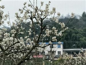 樱桃花又开