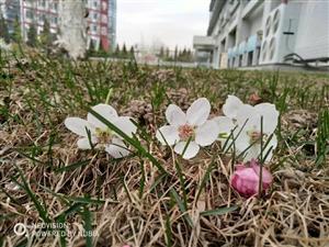 初春被风蹂躏的桃花