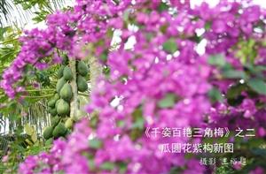琼海籍著名摄影家与海南省花(三角梅)的艺术情缘各位网友不知你是否知道三角梅何年何月被海南