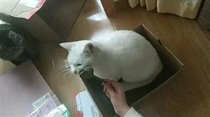 猫咪吃糖图