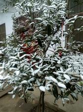 北风吹,雪花飘,女贞树依然傲,任你雪花可劲飘