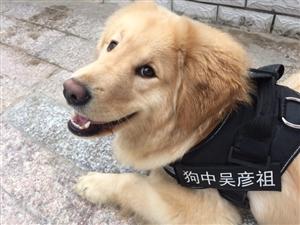 寻狗启示:马蹄岗丢失一条金毛,看到望告知,必有酬谢!