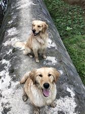 现有两只金毛狗狗,大公狗2岁,小母狗10个月,因本人事逢变故,精力有限,无力抚养,欲转让,价格面谈,