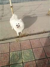 转发:各位朋友帮帮忙,这是我家养了六年的狗,名字叫豆豆,一只小银狐,于今早11点左右在人工湖附近丢失
