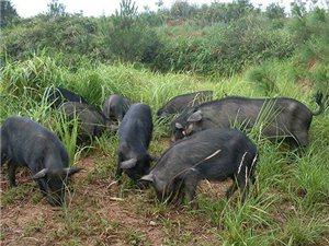 来自山林深处的生态安全肉�C藏香猪