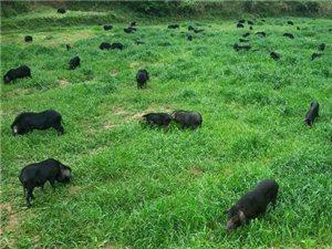 来自山林深处的生态肉�C藏香猪