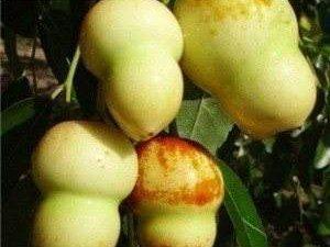 系列养生食补一水果篇(猴头枣)