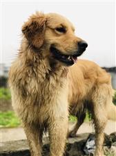 寻狗启示这只狗叫八角,住在滨江新城附近,昨天他趁我打扫除的时候悄悄溜出去玩了,他平时也会出门溜达一会