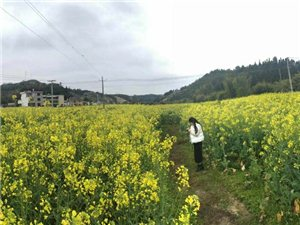 美丽的寻乌上甲村油菜花基地,你去过么