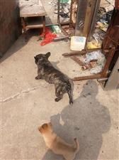 出售一只宠物狗斗牛犬