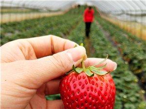 好嗨哟,摘草莓咯!