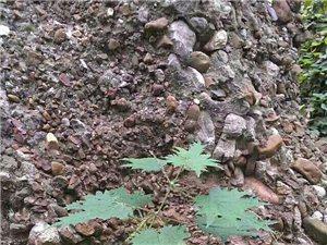 看似沱凝土的赖巴石是火山岩经上亿年的地壳运动沉积而成