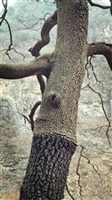 这里的树有点怪