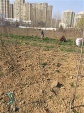 户外挖荠菜野菜