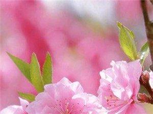 我想从桃花树上�窦钙�花瓣把它揉碎