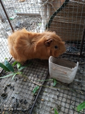 出售自养荷兰猪,豚鼠