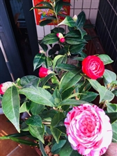 茶花一-蔡维明诗图创作2019年2月开春之年,我的老同学蔡维明,广东省汕头市人,过去响应党的号