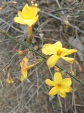 不知名的小黄花