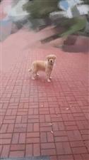 2018年12月17日早上7点多我家母金毛在华滨新村院里跑丢了,3岁了,体型较胖,毛色浅黄色,脸型