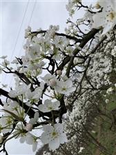 曹家看梨花了,洁白如雪!