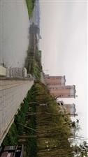 潺潺酉水河