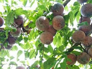 重庆市武隆区兰森苗木种植场,本场位于:武隆区凤山街道杨家村,常年从事桃子、李子等水果种苗种植销售、果