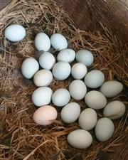 太元绿壳鸡蛋