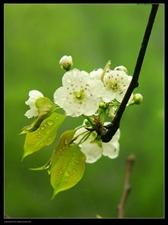 梨花带雨盼君来
