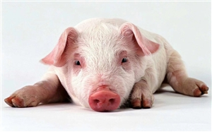 奖励200|盐亭举报泔水喂猪、私自屠宰病猪、私自贩运生猪都有奖励……