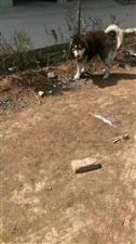 爱犬寻回红棕色阿拉斯加轮胎
