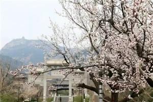 风有信,如期而来,花不误,迎风盛开。莲花山上花开烂漫,迎春花楚翘可爱、樱桃花白里透红、杏花纯净优雅