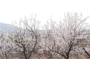 �|�f��P仙山上杏花悄然�`放,漫山遍野的杏花就像天上粉色的彩云,千朵�f朵�Y�M枝�^,粉白相�g,美不�偈�,