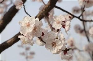 东庄镇凤仙山上杏花悄然绽放,漫山遍野的杏花就像天上粉色的彩云,千朵万朵缀满枝头,粉白相间,美不胜收,