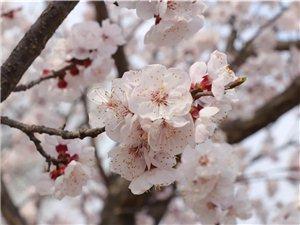 东庄镇凤仙山上杏花悄然绽放,漫山遍野的杏花就像天上粉色的?#35797;疲?#21315;朵万朵缀满枝头,粉白相间,美不胜收,