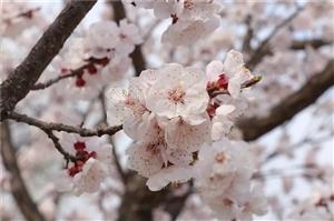东庄镇凤仙山?#38386;?#33457;悄然绽放,漫山遍野的杏花就像天上粉色的?#35797;疲?#21315;朵万朵缀满枝头,粉白相间,美不胜收,