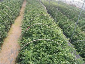 春雨贵如油,种植百香果苗季节到了。现在苗快我一样高了,看到自已辛劳,汗水的成果