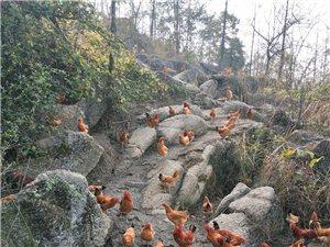 销售土鸡e400308纯天然食品,高山散养,喝的是山泉,吃的是自家蔬菜杂粮,加上竹林觅食,食用安全