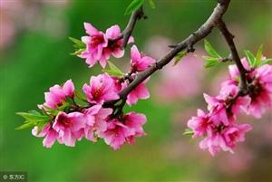 桃花乍暖轻寒煦日华,和风时入众人家。桃红柳绿亭林醉,山水瑶台赏锦霞。